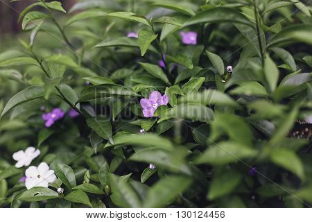 Bush with beautiful white and purple flowers. Densely growing leaves on the Bush. Nice background.