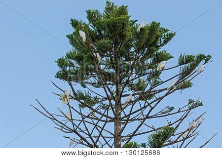A group of Sulphur crested cockatoo birds (Cacatua galerita) perching on pine tree