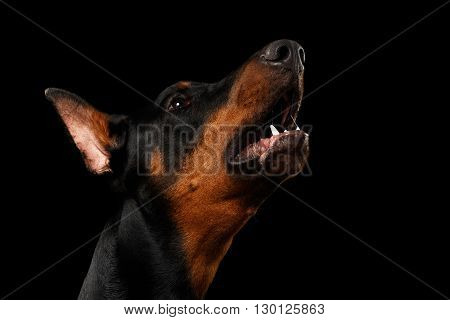 Closeup portrait of howling Doberman Pinscher Dog on isolated Black background