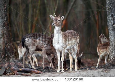 Young deer with small horns in the woods on background of deer