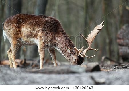 Red deer with his head in the woods