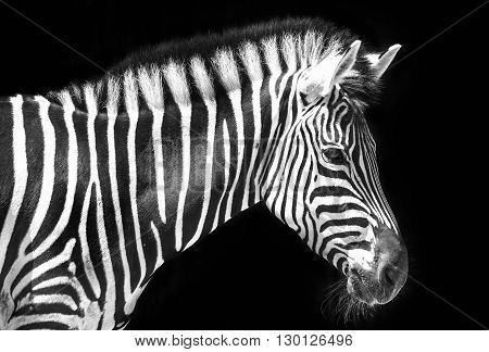 Zebra in park with two alternating black and white makes breast more powerful a mane stood ready to fight in wild, these animals should be preserved in the world