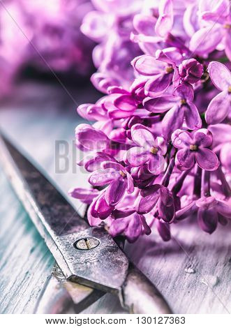 Lilac. Purple Lilac. Bouquet of purple lilacs. Beautiful flowers of lilac - close up. Toned Photo