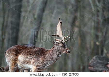 Red deer with a single horn in the forest