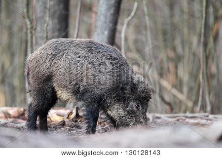 Young wild boar alone in the forest