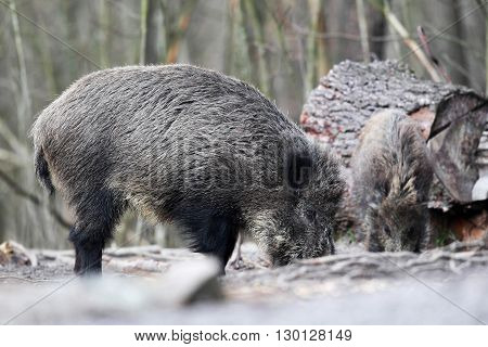Wild boar in the forest in search of food