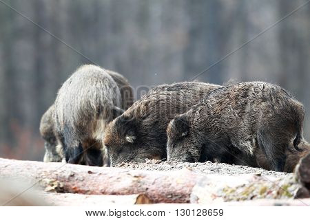 A herd of wild boars looking for food in the sand