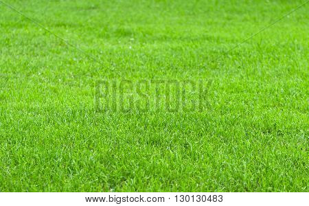 The summer cut grass of bright green color in a clear sunny day