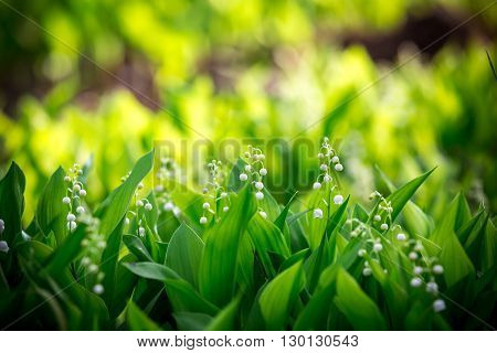 Beautiful Forest Landyshi- Thick Fragrant Thickets Of Delicate Flowers Against A Background Of Pine