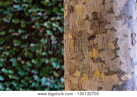 Close up of colorful patchy eucalyptus tree trunk texture. Mottled bark of Australian gum tree against green leaves blurred leaves on the background. Copy space