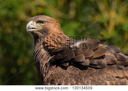 Three quarter close up portrait of a golden eagle