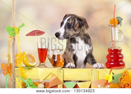 whippet puppy bartending in the bar lemonade