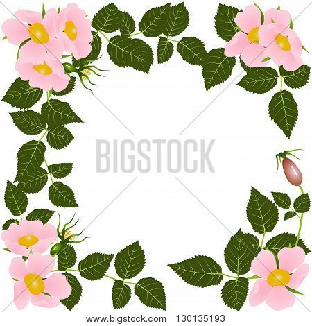 Blooming wild rose. Spring or summer design for background  or invitation, wedding or greeting cards, isolated on white background, vector illustration