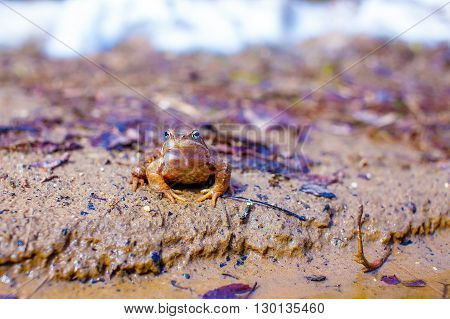 toad with protective coloration. camouflage of a frog on the shore of the pond. copy space for your text