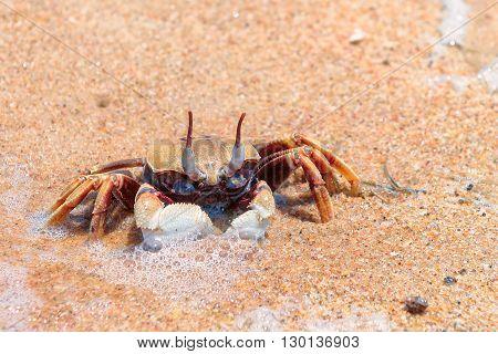 Crab on the sand beach, GOA, India