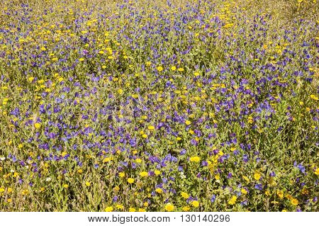 Grass field with blue and yellow flowers in full bloom in Spring