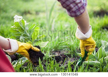 Planting Flowers in a garden. Gardening concept