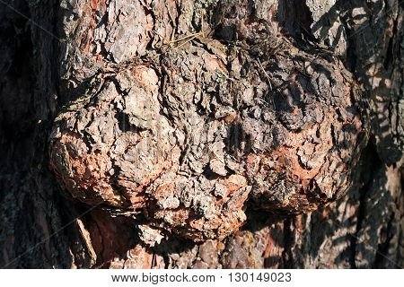 Wooden background. Extreme closeup of pine bark under sunlight