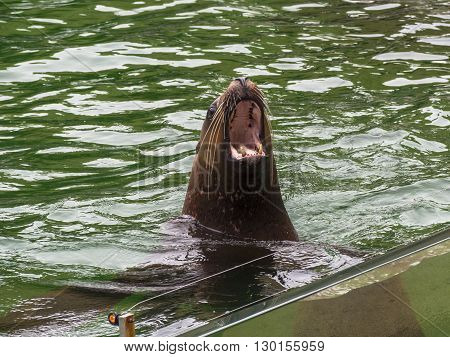 California sea lion in the water with mouth open