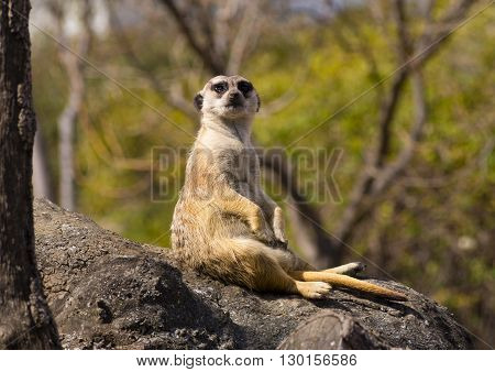 Watching meerkat sitting on a wooden trunk