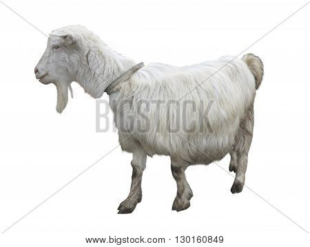 Cute Goat Isolated Over White Background