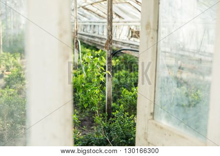 Growing Plants In The Old Greenhouse.