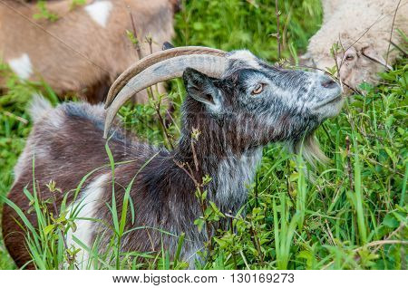 Horny goat eats grass in the field