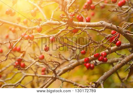 Hawthorn red berries in nature, autumn seasonal vintage sunny background