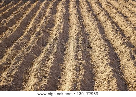 Planted in the ground potatoes. Ground Background