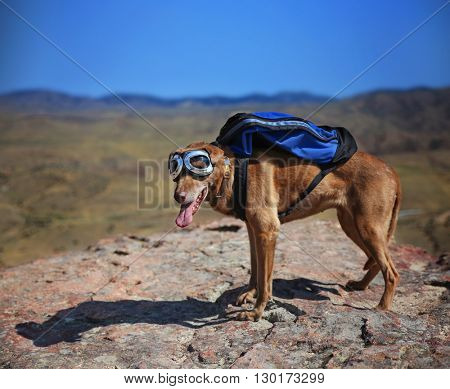 a dog standing on a mountain top with a canvas backpack looking over a skyline toned with a retro vintage instagram filter - shallow DOF FOCUS on the face