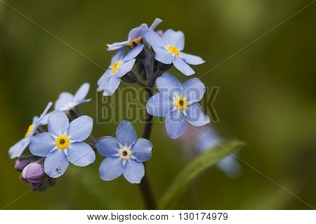 a blue forget me not plant in full bloom