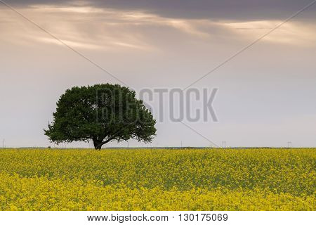 Beautiful tree on a rapeseed field in springtime