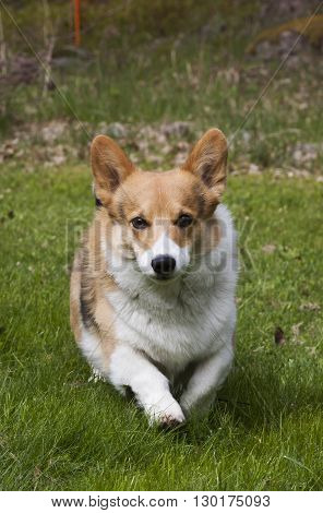 a welsh corgi pembroke approaching the camera