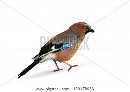 European jay isolated over white background. Wild jay