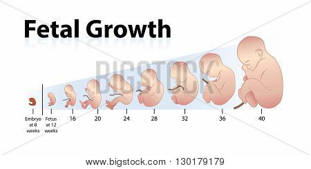 Illustration of Fetal Growth at eight weeks