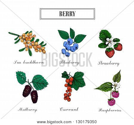 Berry collection. Set berries vector. Blueberries raspberries currants sea buckthorn strawberries and mulberries