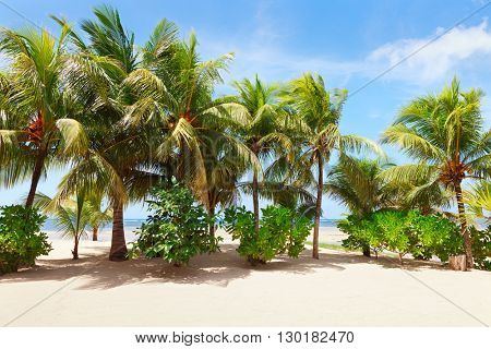 Coconut palm trees at a tropical beach in Mahe, Seychelles.
