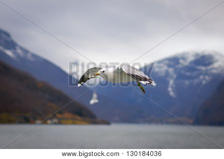 The gull flying in winter in Norway