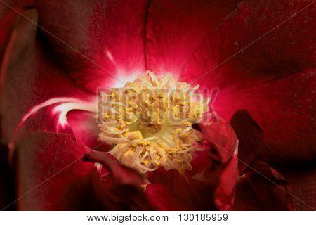 Rose Pollen on Pistils & Stamen Macro