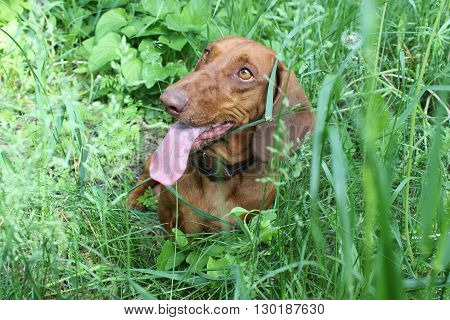A brown dachshund on grass with a basketball.