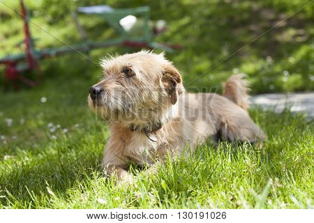 one brown terrier breed dog lying on green grass lawn
