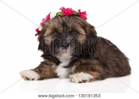 adorable lhasa apso puppy in a flower crown