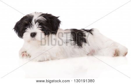 adorable white and black lhasa apso puppy