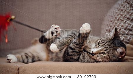 The striped domestic cat on a sofa plays with a toy.