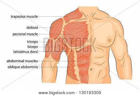 illustration of a male body arms shoulders chest and abs. bodybuilding