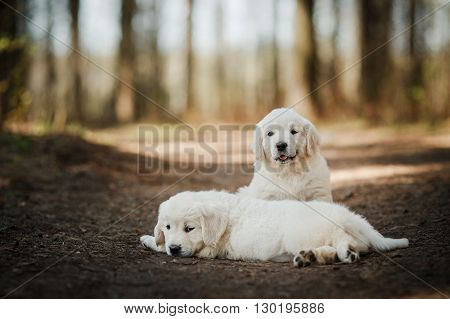 Little Puppys Golden Retriever