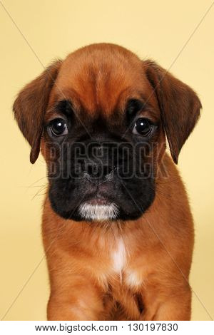 Purebred red boxer puppy head closeup on yellow background in Studio