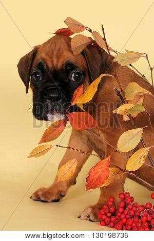 a scared puppy boxer hid behind a thin twig and looks plaintively