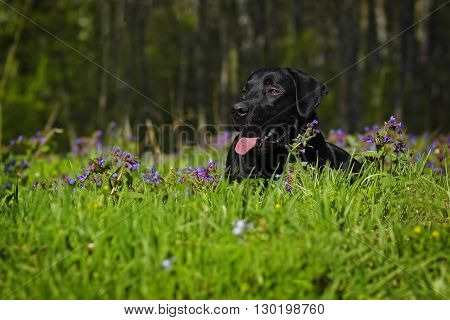 Black Labrador dog lying on flower meadow in the summer and resting in the sun