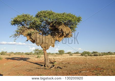 Acacia tree with huge apartment-house nest of weaver birds in Kalahari desert in Namibia.